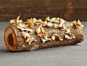 Shitake on hardwood log (how to grow mushrooms)