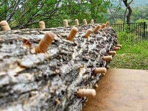 impregnated logs with mushroom dowels (how to grow mushrooms)