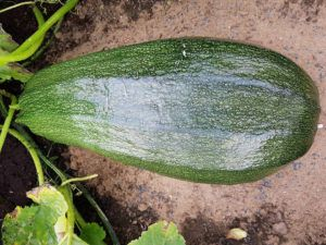 protecting a giant marrow from rot
