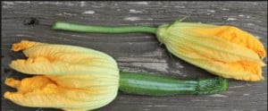 Differences between male and female giant marrow flowers