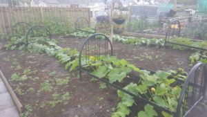 Giant marrows in ready made beds