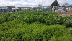 Full grown green manure