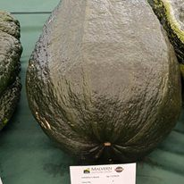 Giant Marrow On The Show Bench