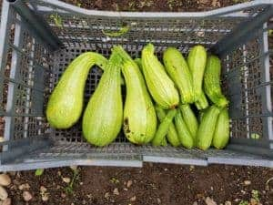 giant marrow rejects