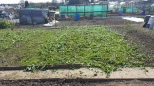 green manure cut and left to rot down