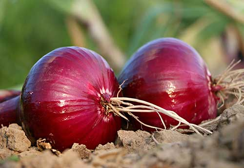 onions laying on soil