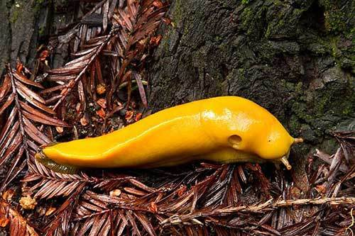 yellow-slug
