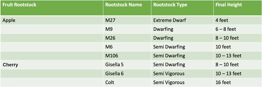 Apple-rootstock