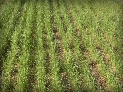 grass cover crops