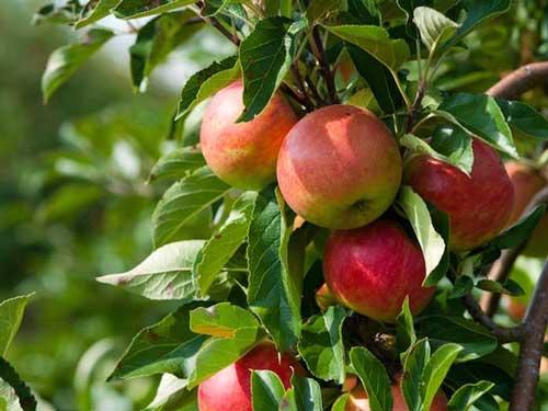 apple-pink-copy-2