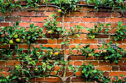 espalier-fruit-tree