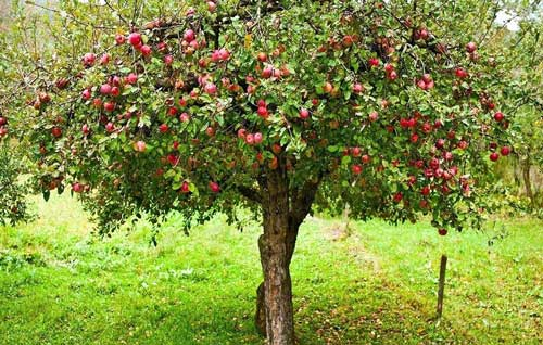 rootstock-apple-trees-apple-m27-rootstock-apple-trees-for-sale-standard-rootstock-fruit-trees