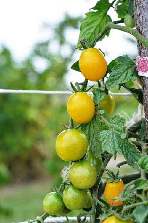 tomato-2633032_1280