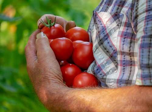 tomatoes-3702942_640