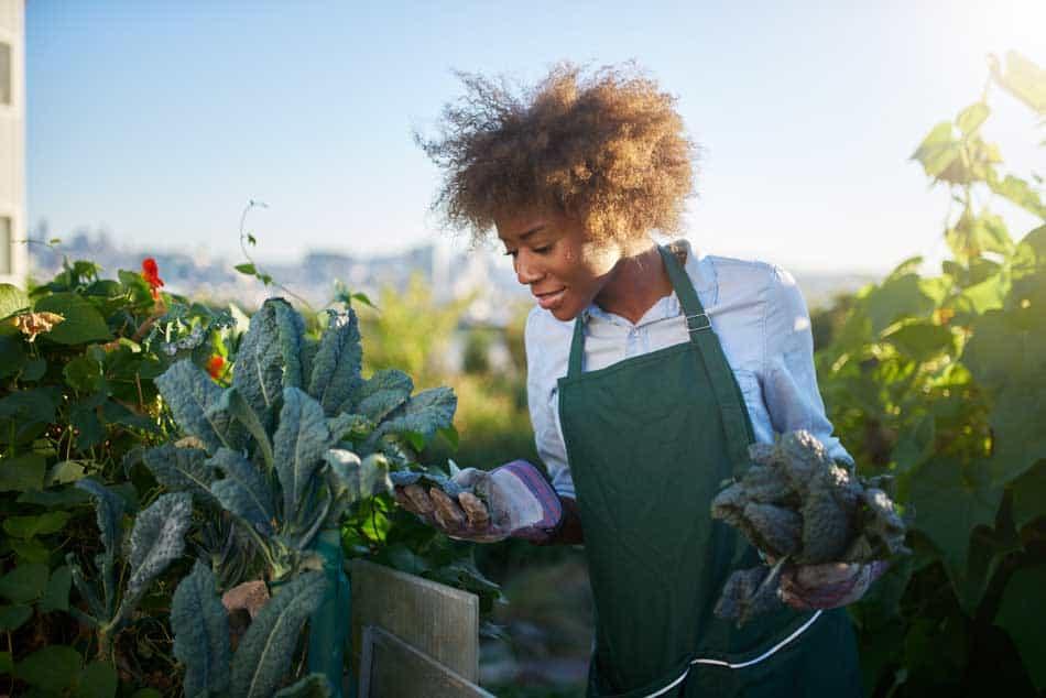 lady harvesting kale