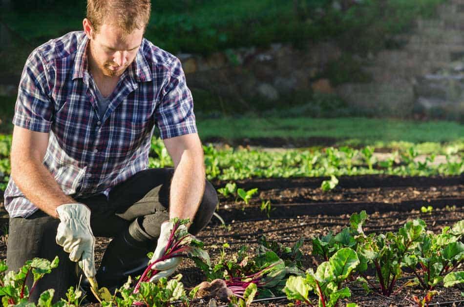 man planting beetroot