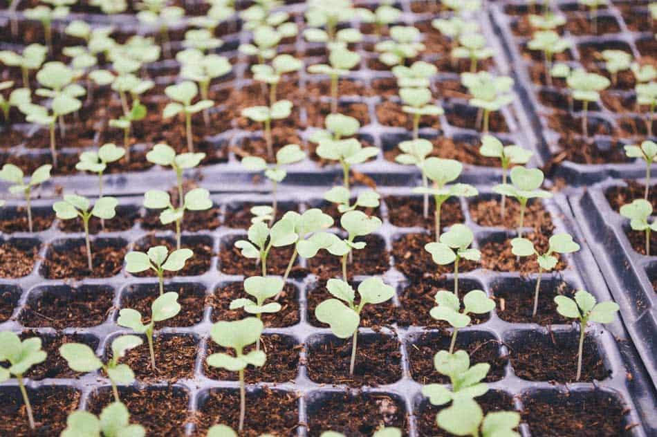 seedlings growing in  cell trays