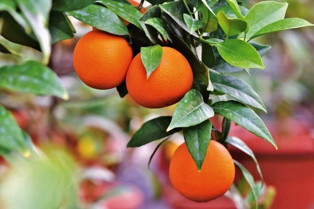 oranges on a tree