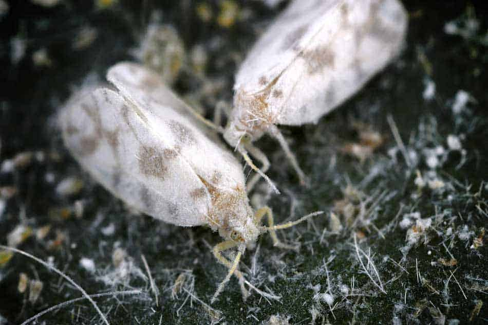 whitflies adults
