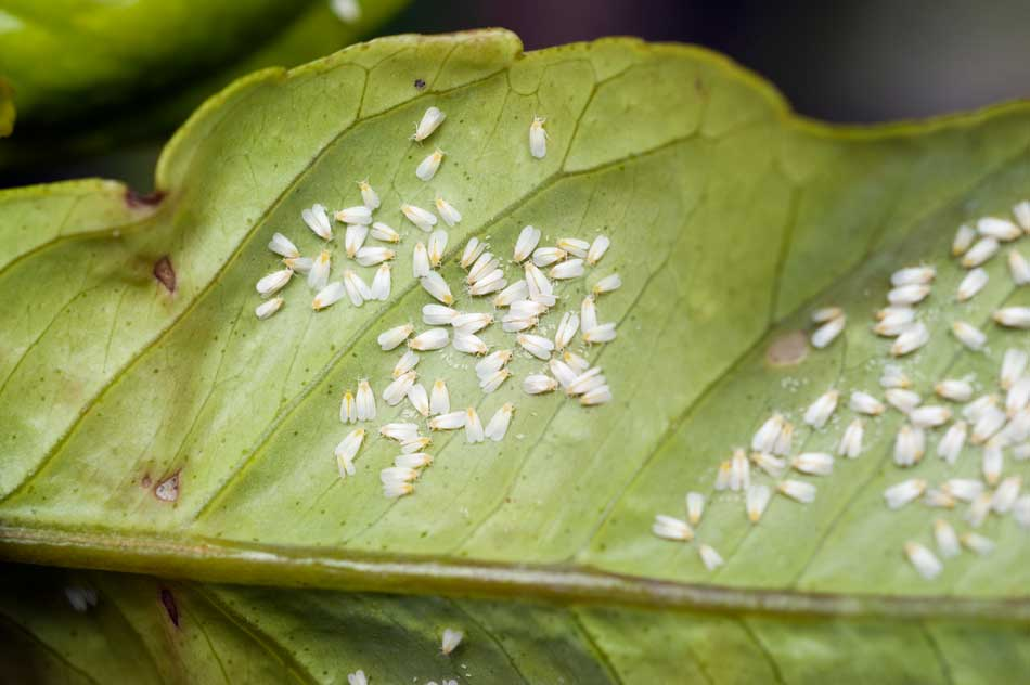 white fly on leaves