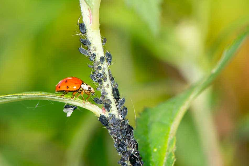 ladybird eating aphids