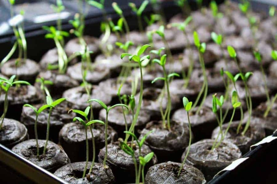 Picture of leggy tomato seedlings