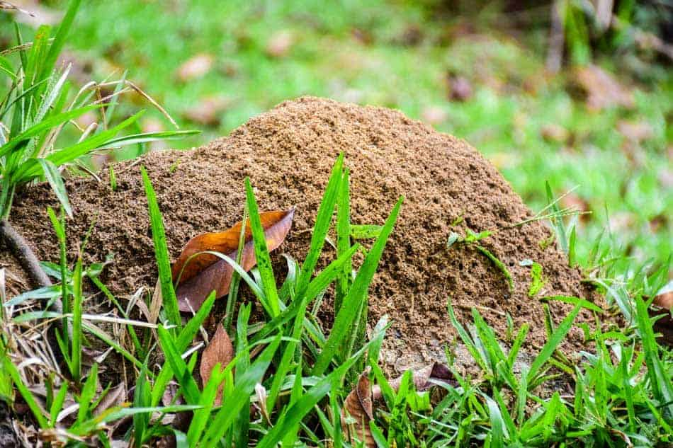 anthill in lawn