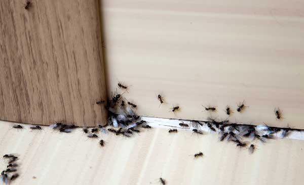 ants in a house