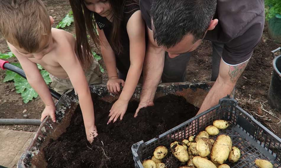 Tony O'Neill with his children harvesting container grown potatoes