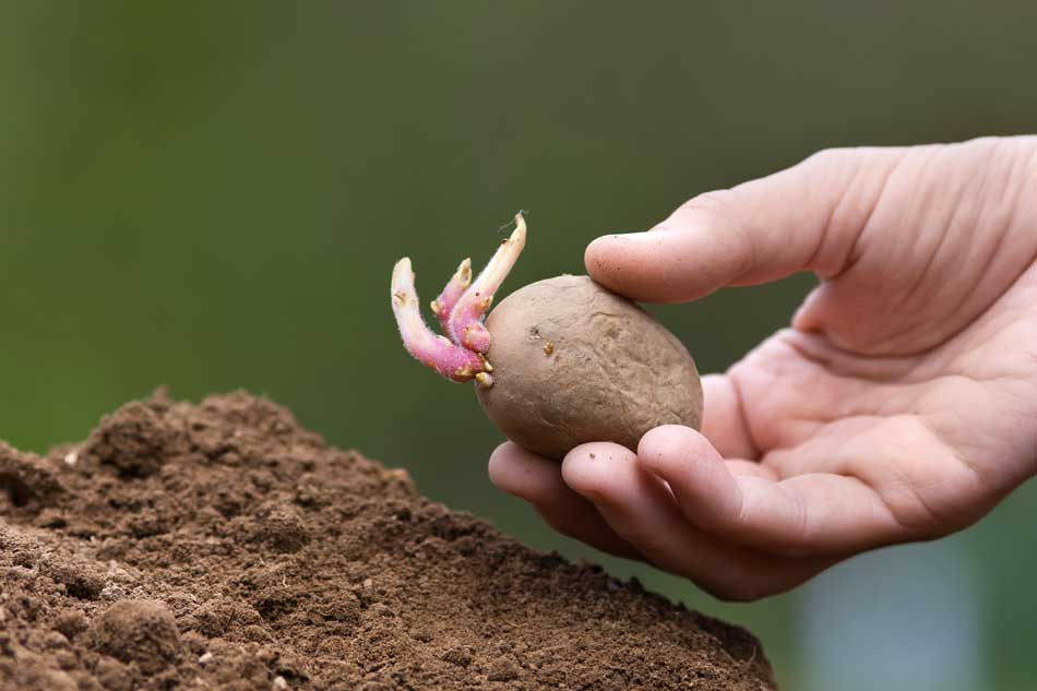 Picture of sprouting seed potato