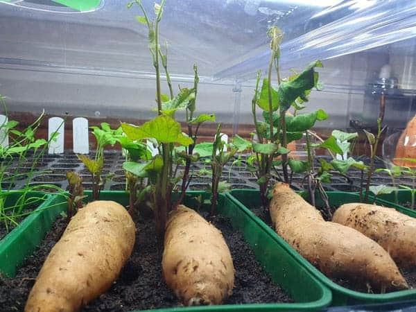 The Definitive Guide On How To Grow Sweet Potato Slips Simplify