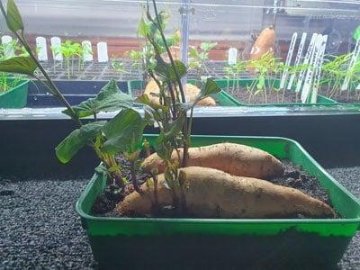 sweet potato slips in tray