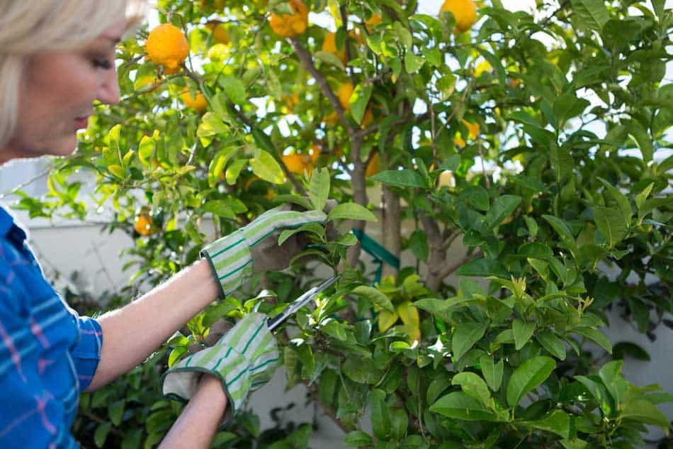 elderly lady pruning lemon tee