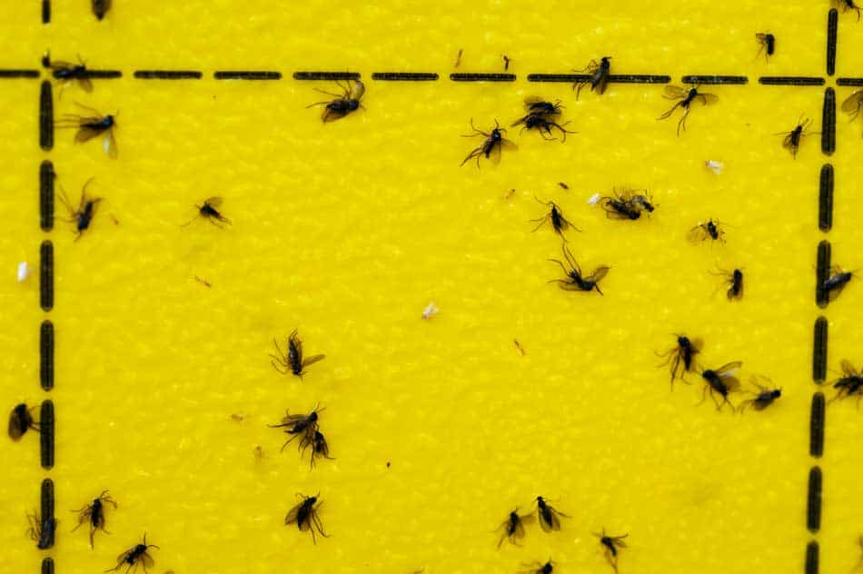 yellow insect traps