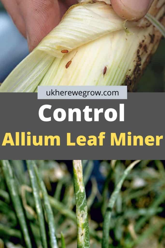How To Control Allium Leaf Miner. Protect Your Plants!