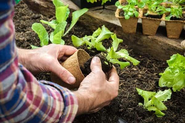 planting lettuce seedlings