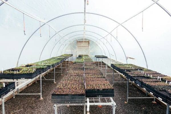 large polytunnel full of seed trays