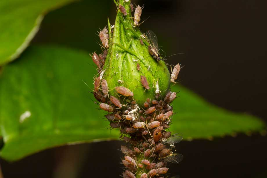 Aphids on rose bud