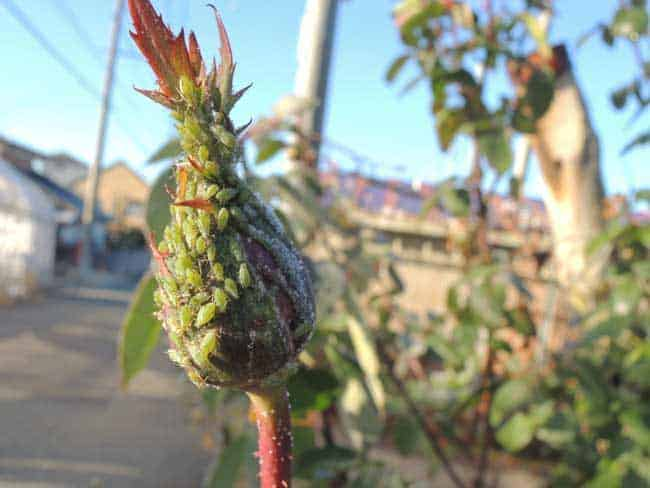 rose bud covered in aphids