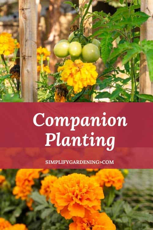 What is Companion Planting and its Benefits to Gardeners