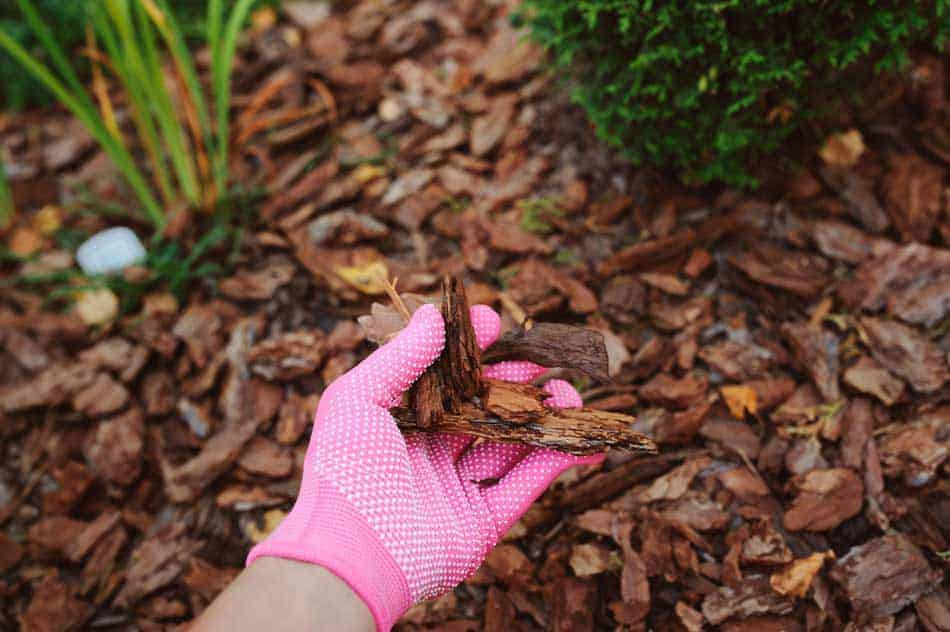 hand wearing pink glove holding wood chips