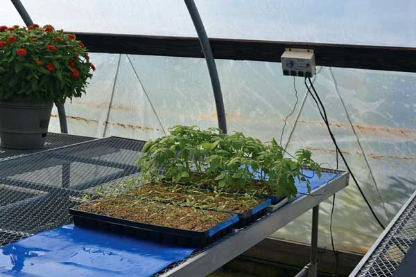 tray of seedlings on a greenhouse bench