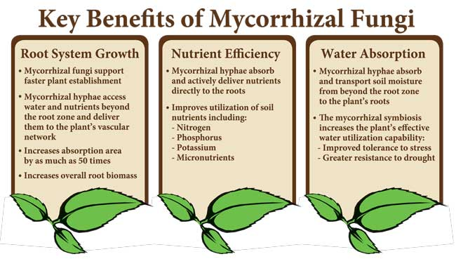 inforgraphic on the benefits of mycorrhizal fungi