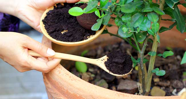 Picture of spooning coffee grounds around a plant pot