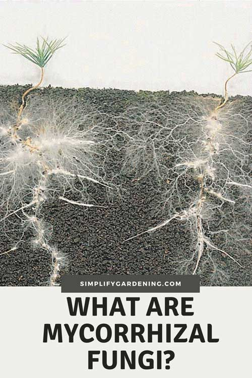 What are mycorrhizal fungi? What does it do?