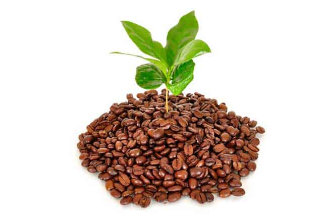 coffee beans with coffee plant