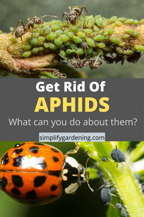 How To Get Rid Of Aphids From Your Garden Plants.