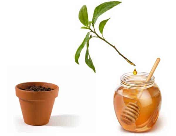 use honey as a rooting hormone
