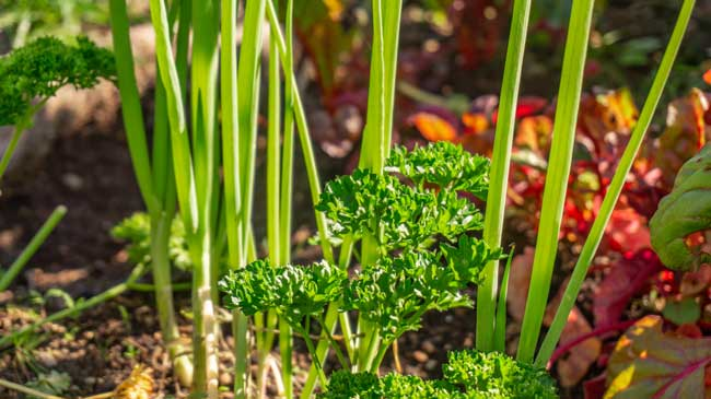 vegetables growing in a garden bed