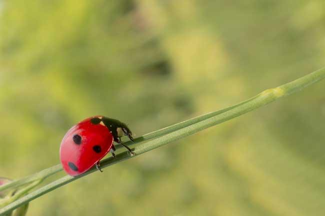 lady bird on blade of grass